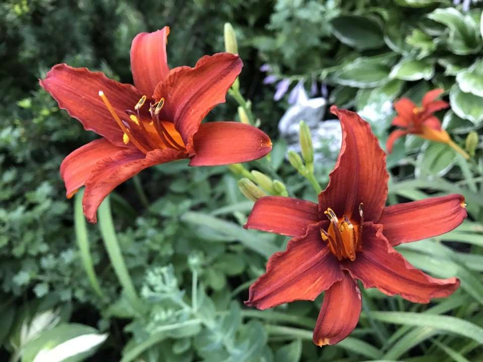 Daylily Flowers are one of the Best Perennial Flowers to Plant