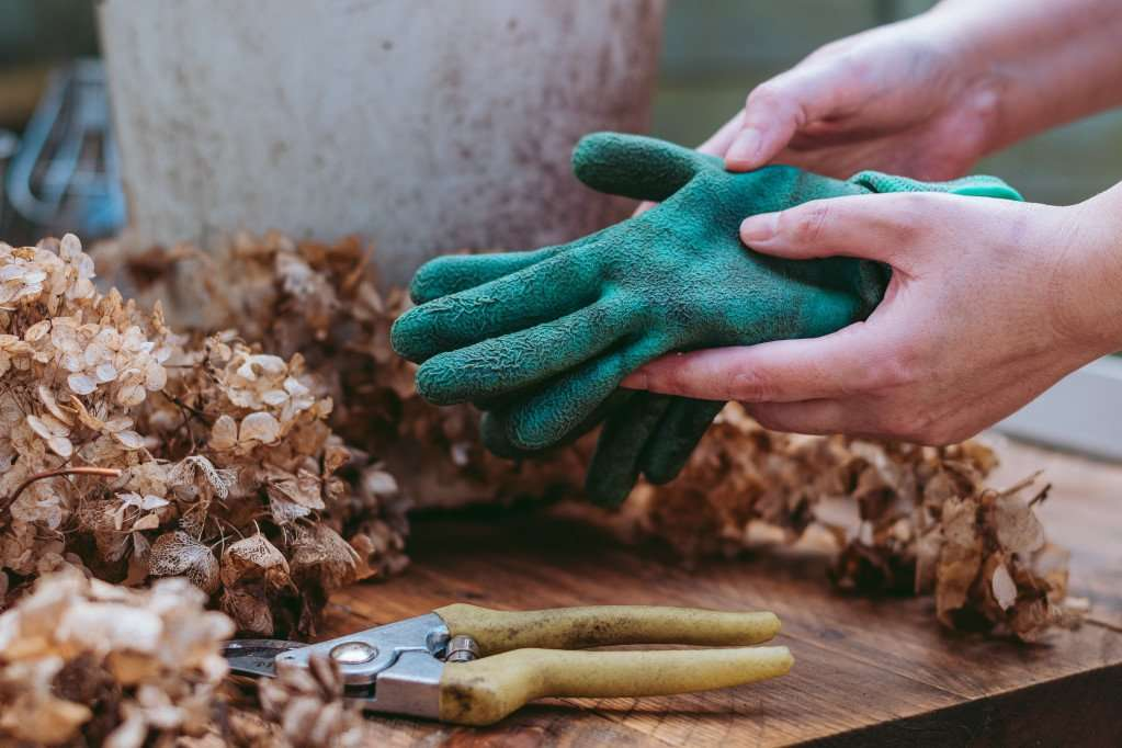 Deadheading is an essential task for taking care of roses