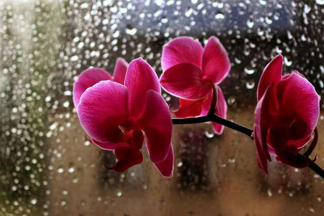 Orchids displayed in front of a wet window