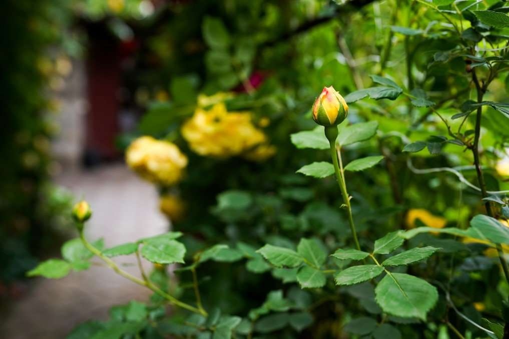 How to Plant, Grow, and Take Care of Roses