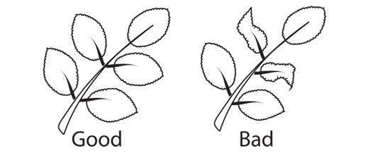 Perfect Leaf Sketch