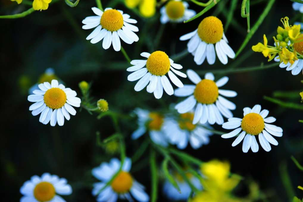 Daisy Flowers are Incredibly Easy to Grow