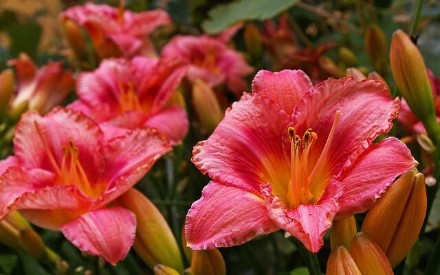 Day Lilies Need Maximum Light