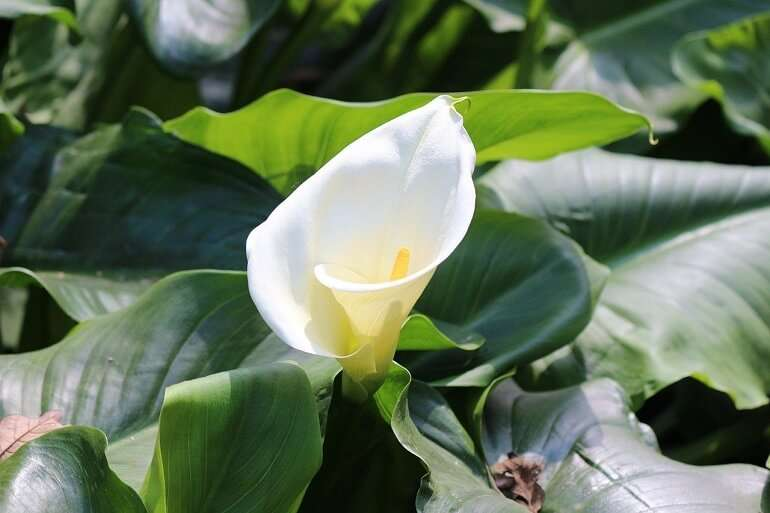 How to Grow Calla Lilies, Daylilies, Water and Easter Lilies