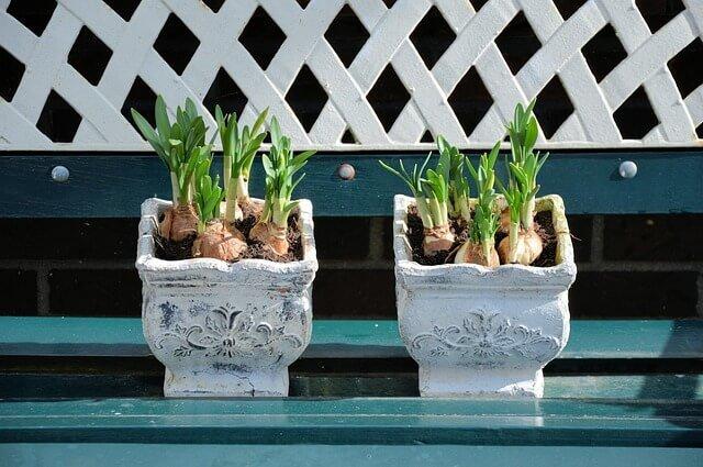 Planting Lily Bulbs