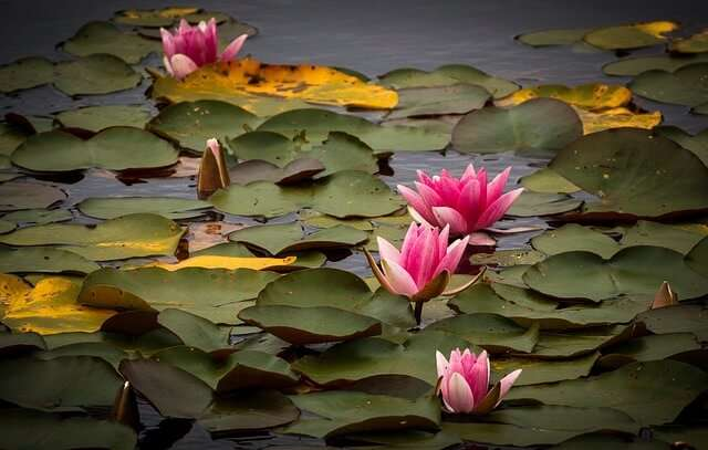 Water Lilies in the Water