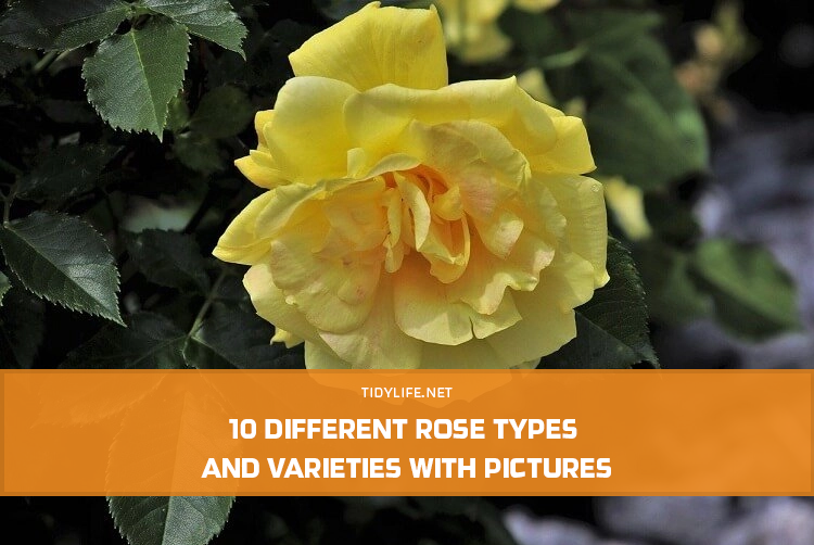 10 Different Rose Types and Varieties with Pictures