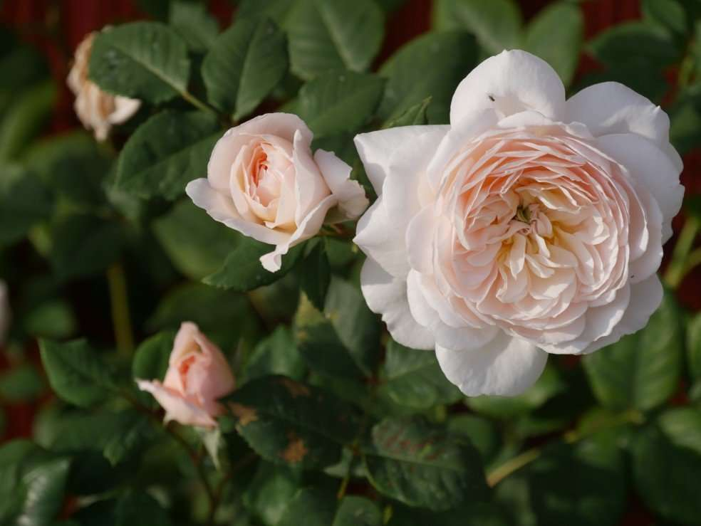 Crocus Rose is a David Austin Rose Variety