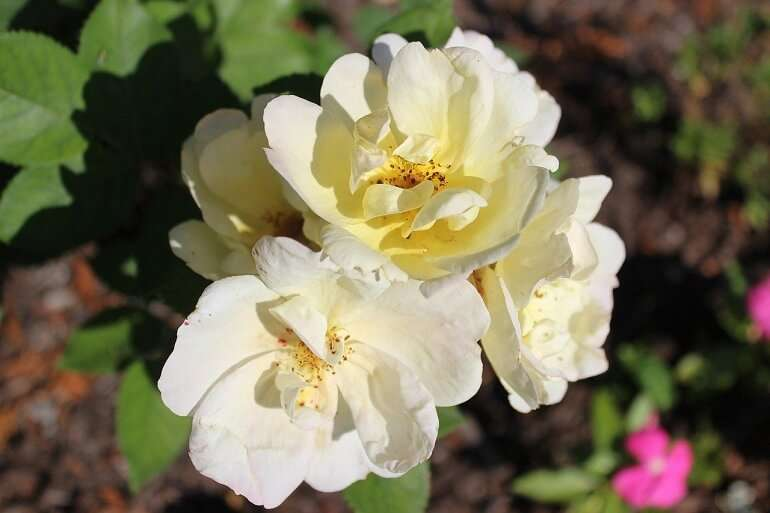 How to plant and design a knockout rose garden