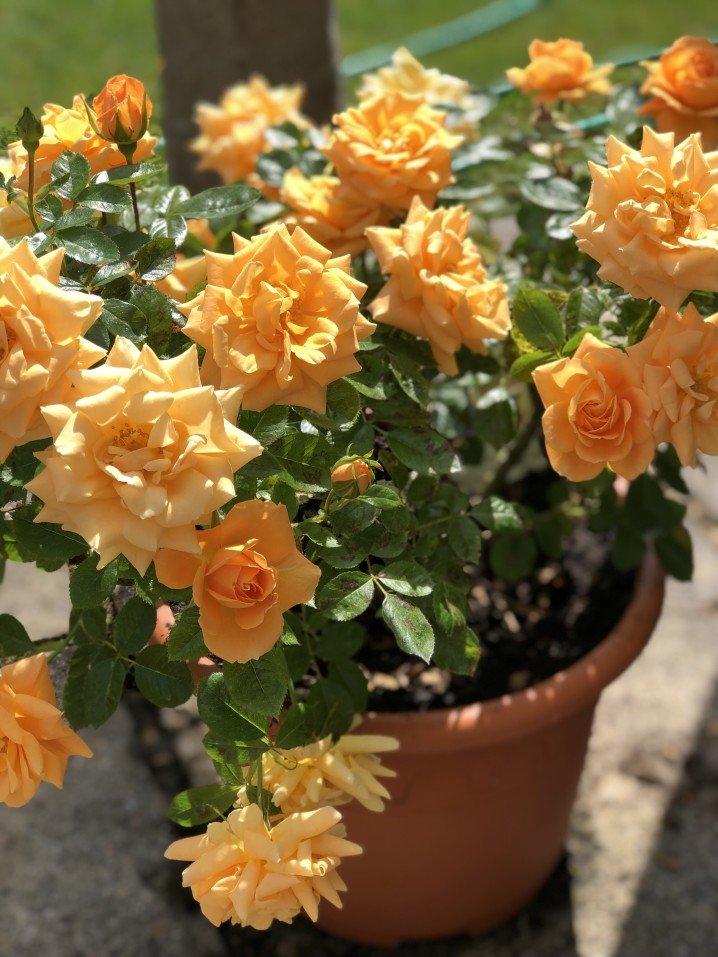 Orange patio roses in a terra cotta pot
