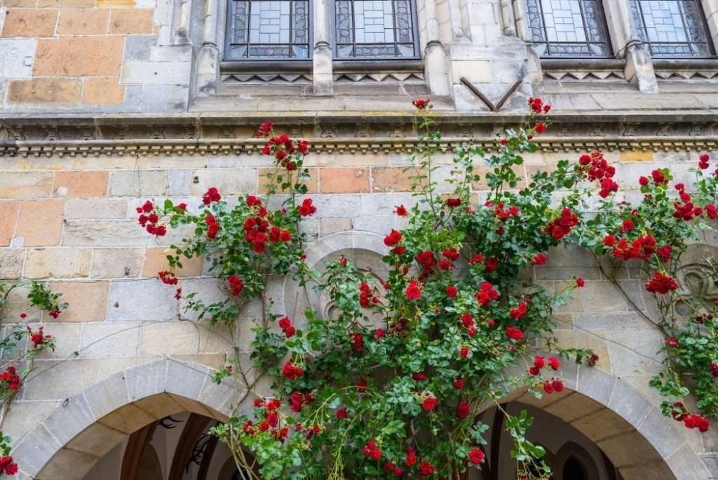 Red roses climbing up a wall