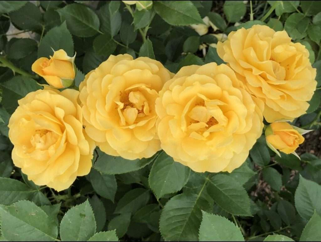 A Yellow Floribunda Rose